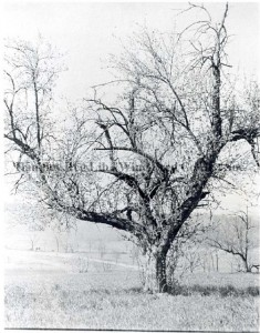 The Hessian Apple Tree, from the Stewart Bell Jr. Archives